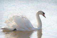 белизна лебедя Стоковые Фотографии RF