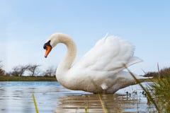 белизна лебедя Стоковая Фотография