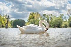 белизна лебедя Стоковые Фото