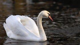 белизна лебедя Стоковое фото RF