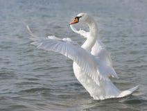 белизна лебедя Стоковые Изображения RF
