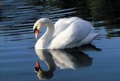 белизна лебедя Стоковые Изображения
