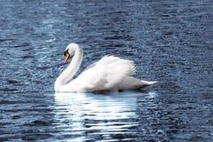 белизна лебедя Стоковое Изображение RF