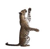 белизна леопарда предпосылки передняя Стоковые Фотографии RF