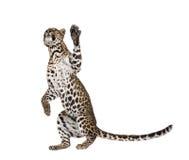 белизна леопарда предпосылки передняя Стоковая Фотография RF
