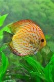 белизна леопарда рыб discus Стоковое Фото