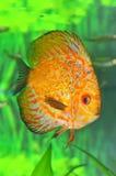 белизна леопарда рыб discus Стоковое фото RF