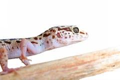 белизна леопарда gecko предпосылки Стоковое фото RF