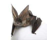 белизна летучей мыши предпосылки eared передняя серая длинняя Стоковые Фото