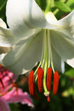 белизна лилии Кас blanca востоковедная Стоковые Фотографии RF