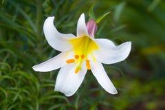 белизна лилии королевская Стоковая Фотография