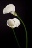 белизна лилии пар черного calla предпосылки Стоковые Изображения