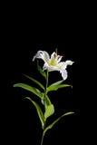 белизна лилии предпосылки черная Стоковое фото RF