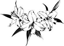 белизна лилии Стоковые Фотографии RF