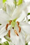 белизна лилии стоковая фотография rf