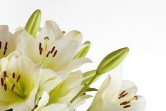 белизна лилии Стоковые Изображения