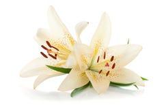 белизна лилии 2 Стоковая Фотография RF