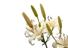 белизна лилии Стоковые Фото