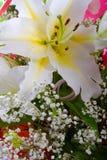 белизна лилии Стоковое Фото
