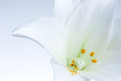 белизна лилии Стоковое фото RF