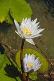 белизна лилии s Стоковая Фотография