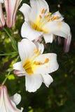 белизна лилий естественная стоковое изображение rf