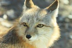 белизна лисицы Стоковое Изображение RF