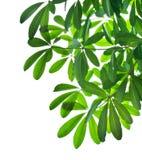 Белизна листьев зеленого цвета и ветви дерева изолированная Стоковое Изображение