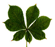 белизна листьев каштана предпосылки Стоковые Изображения