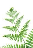 белизна листьев папоротника свежая зеленая изолированная Стоковая Фотография