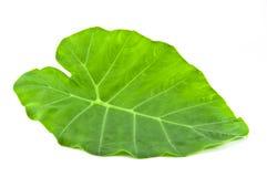 белизна листьев предпосылки зеленая Стоковое Фото