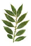 белизна листьев предпосылки изолированная заливом Стоковое Фото