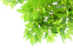 белизна листьев предпосылки свежая зеленая изолированная Стоковое Изображение RF