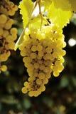 белизна лозы виноградины Стоковые Фотографии RF