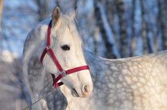белизна лошади в серых яблоках Стоковое фото RF