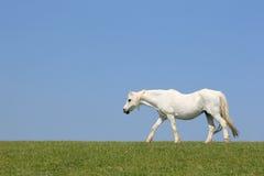 белизна лошади красотки Стоковые Изображения