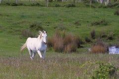 белизна лошади поля Стоковые Фотографии RF