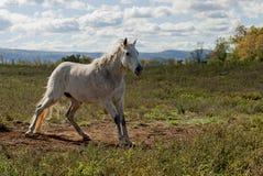 белизна лошади поля Стоковая Фотография RF