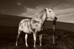 белизна лошади поля Стоковое Изображение RF