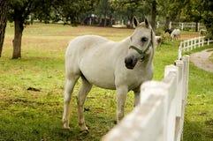 белизна лошади Стоковые Изображения