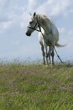 белизна лошади Стоковое Изображение RF