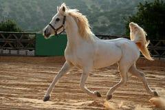 белизна лошади Стоковое Фото