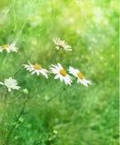 белизна лужка стоцвета стоковое изображение rf