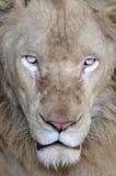 белизна льва мыжская Стоковое Изображение