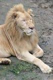 белизна льва мыжская Стоковое Изображение RF