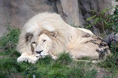 белизна льва Стоковые Изображения