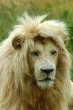 белизна льва стоковые изображения rf