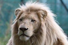 белизна льва стоковое фото