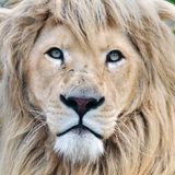 белизна льва Стоковое Изображение