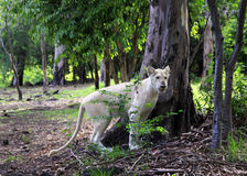 белизна льва Стоковое фото RF